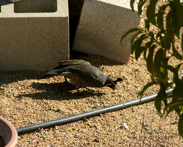 8/18/07 California Quail (Callipepla californica) under bird feeder. Kyle Court, La Cresta, Murrieta, Riverside County, CA