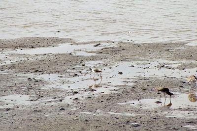 "1/17/05 Greater Yellowlegs (Tringa melanoleuca). Marina at Morro Bay State Park,  ""Shorebird Seasonal Assemblage"".  with docents Freeman & Worth Hall, Morro Bay Winter Bird Festival, San Luis Obispo County, CA"