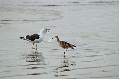 1/17/05 Long-Billed Curlew (Numenius americanus) & Western Gull (Larus occidentalis), Morro Strand State Beach, San Luis Obispo County, CA
