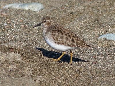 1/15/06 Least Sandpiper (Calidris minutilla). Beach across from Washburn Day Use Area, San Simeon State Park, San Luis Obispo County, CA
