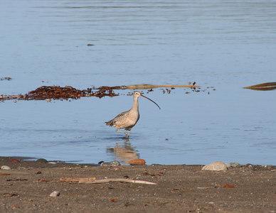 1/15/06 Long-Billed Curlew (Numenius americanus). Beach across from Washburn Day Use Area, San Simeon State Park, San Luis Obispo County, CA