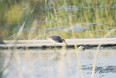 11/6/04 Common Snipe (Gallinago gallinago). LA Audubon field trip with Dan Cooper.