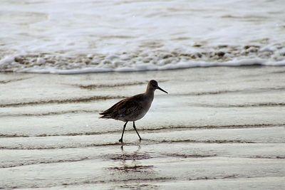 1/17/05 Willet (Catoptrophorus semipalmatus). Morro Strand State Beach, San Luis Obispo County, CA