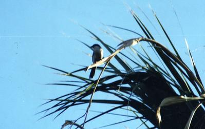 1/5/03 Loggerhead Shrike (Lanius ludovicianus). Paul Wilhelm Grove, Coachella Valley Preserve, Riverside County, CA