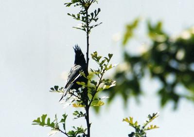 5/5/02 Phainopepla (Phainopepla nitens). Rancho Santa Ana Botanic Garden, Claremont, San Bernardino County, CA