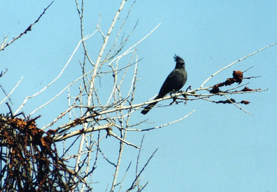 3/8/03 Phainopepla (Phainopepla nitens). Meccacopia Trail at Box Canyon Road. Mecca Hills, Eastern Riverside County, CA