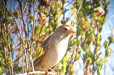 12/5/07 Immature (first winter) White Crowned Sparrow (Zonotrichia leucophrys).  Kyle Court Property, La Cresta, Murrieta, SW Riverside County, CA