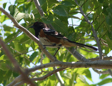 7/6/07 Spotted Towhee (Pipilo maculatus).  Mono Lake Access Area- Mono Basin National Forest Scenic Area. Lee Vining, Mono County, Eastern Sierras, CA