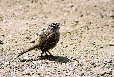 8/19/04 White-Crowned Sparrow (Zonotrichia leucophrys). Morro Rock, Morro Bay, San Luis Obispo County, CA