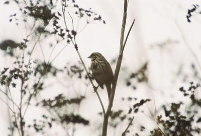 8/18/04 Song Sparrow (Melospiza melodia). South Marsh Loop, Elkhorn Slough National Estuarine Research Reserve, Monterey County, CA