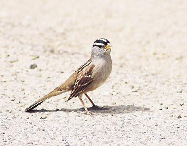 BIRDS: Sparrows & Towhees (Emberizidae)