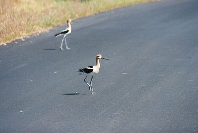 7/3/05 American Avocet (pair defending nesting site on paved section at end of Auto Tour). Modoc National Wildlife Refuge, Modoc County, CA