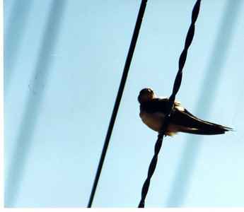 8/20/03 Barn Swallow (Hirundo rustica). Link River Trail, Klamath Falls, Klamath County, Oregon.