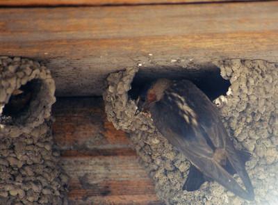 7/5/02 Cliff Swallow (Hirundo pyrrhonata). Bodie Historic State Park, Eastern Sierras, Mono County, CA.