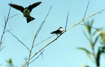 5/4/02 Tree Swallow (Tachycineta bicolor). San Joaquin Wildlife Sanctuary, Irvine, Orange County, CA