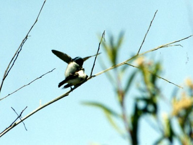 5/4/02 Tree Swallows (Tachycineta bicolor), mating. San Joaquin Wildlife Sanctuary, Irvine, Orange County, CA