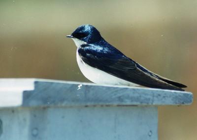 BIRDS: Swallows (Hirudinidae)