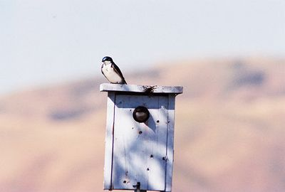4/24/04 Tree Swallows. Prado Constructed Wetlands, Riverside County, CA