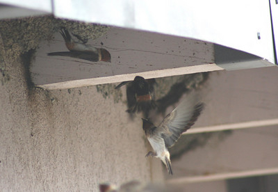 7/6/07 Cliff Swallow (Petrochelidon pyrrhonota). Nesting under eaves of Visitor Center @ Mono Basin National Forest Scenic Area. Lee Vining, Mono County, Eastern Sierras, CA