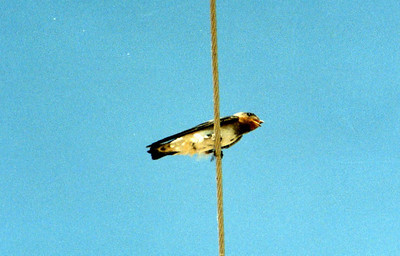 6/8/02 Cliff Swallow (Hirundo pyrrhonata). McDonald Road, Salton Sea area, Imperial County, CA.