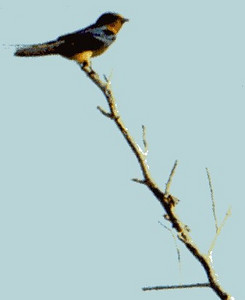 5/26/02 Barn Swallow (Hirundo rustica). Hidden Valley Wildlife Reserve, Norco, Riverside County, CA