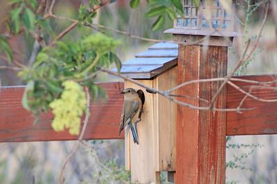 3/17/11 Female Western Bluebird (Sialia mexicana). Kyle Court, La Cresta, Murrieta, Riverside County, CA