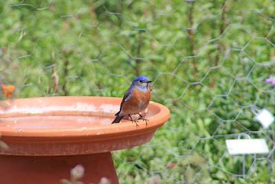 3/18/11 Male Western Bluebird (Sialia mexicana). Kyle Court, La Cresta, Murrieta, Riverside County, CA