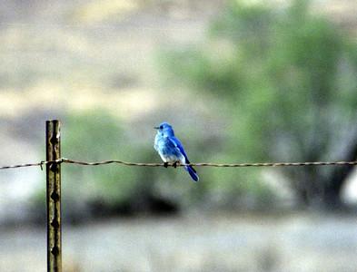 11/24/02 Mountain Bluebird (Sialia curruccides). Near Entrance @Fish&Game HQ, San Jacinto Wildlife Area, Riverside County, CA