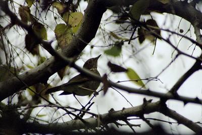 12/2004 Hermit Thrush (Catharis guttatus). Rancho Santa Ana Botanic Garden, Claremont, CA
