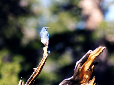 7/6/02 Mountain Bluebird (Sialia curruccides). Elevation 10,040 ft. Cottonwood Pass Trail, Horseshoe Meadow, Inyo National Forest, Eastern Sierras, Inyo County, CA