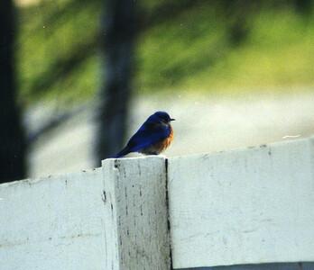 3/23/02 Western Bluebird (Sialia mexicana). Calle Centro, La Cresta, Murrieta, SW Riverside County, CA