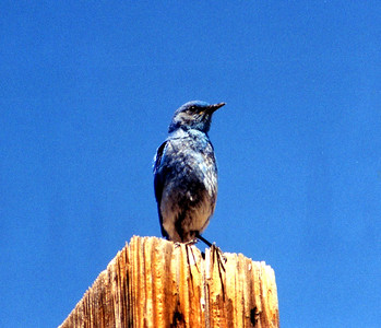 7/5/02 Mountain Bluebird (Sialia curruccides). Elevation >8,000 ft. Bodie Historic State Park, Eastern Sierras, Mono County, CA