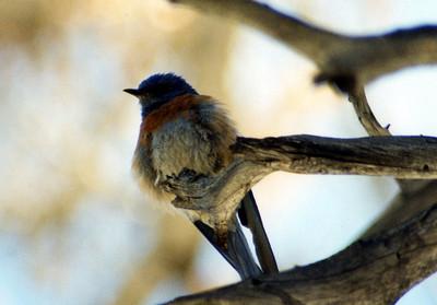 7/28/02 Western Bluebird (Sialia mexicana). Mt. San Jacinto State Park (near Mountain Station), Riverside County, CA