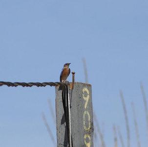 2/25/06 Western Bluebird (Sialia mexicana). Kyle Court, La Cresta, Murrieta, Riverside County, CA