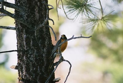 7/5/05 American Robin (Turdus migratorius). Near Lower Twin Lakes Campground (along Robinson Creek). Toiyabe National Forest, E. Sierra, Mono County, CA