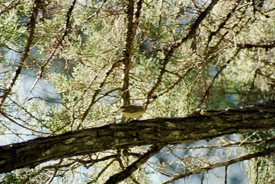 1/16/05 Hutton's Vireo (Vireo huttoni)? Sweet Springs Nature Preserve, Los Osos, San Luis Obispo County, CA