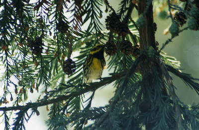 5/5/02 Townsends Warbler (Dendroica townsendi). Rancho Santa Ana Botanic Garden, Claremont, San Benardino County, CA