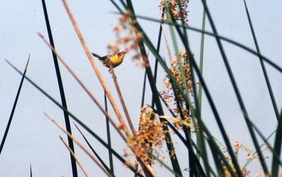 6/22/02 Common Yellowthroat (Geothlypis trichas). Prado Regional Park, San Bernardino County, CA