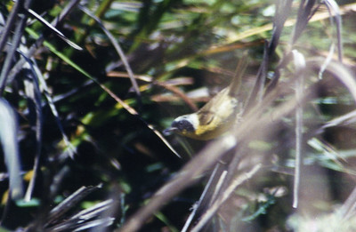8/3/03 Common Yellowthroat (Geothlypis trichas). Upper Newport Bay Ecological Reserve, Newport Beach, Orange County, CA