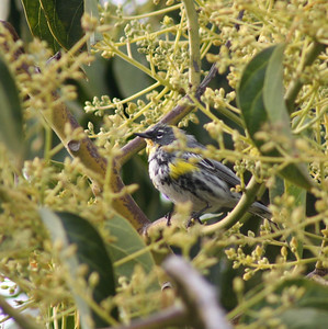 "4/2/06 Yellow-Rumped Warbler (Dendroica coronata). Male ""Myrtle's"" (Eastern form) with black mask, white throat, yellow patch @side of breast. La Puente (on avocado tree in back yard of townhouse on Francisquito), LA County, CA"