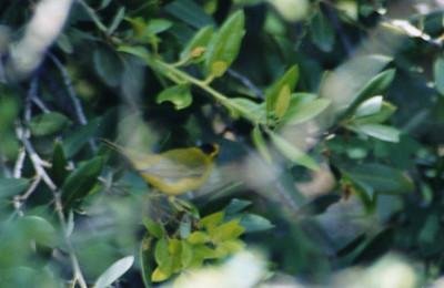 5/5/02 Wilson's Warbler (Wilsonia pusilla). Rancho Santa Ana Botanic Garden, Claremont, San Bernardino County, CA