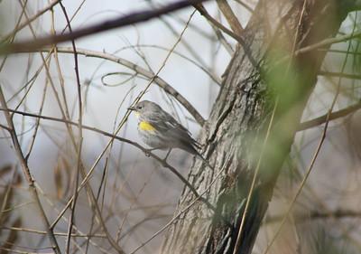 "2/25/07 ""Audubon's"" Yellow-rumped Warbler (Dendroica coronata). San Jacinto Wildlife Area, Riverside County, CA"