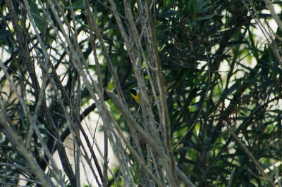 5/26/02 Common Yellowthroat (Geothlypis trichas). Hidden Valley Wildlife Area, Norco, Riverside County, CA