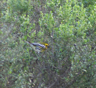 1/14/06 Townsends Warbler (Dendroica townsendi). Morro Bay Winter Bird Festival Event #35. Pismo State Beach Campground, San Luis Obispo County, CA