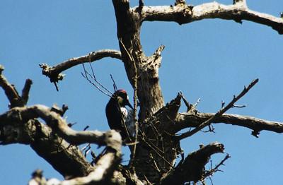 3/10/02 Acorn Woodpecker (Melanerpes formicivorus). Eaton Canyon Trail, San Gabriel Mountains, Los Angeles County, CA