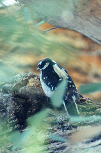6/1/02 Downy Woodpecker (Picoides pubescens). Los Angeles County Arboretum, Arcadia, CA
