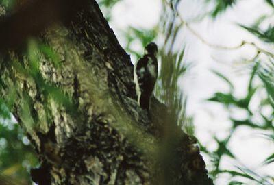 8/16/04 Downy Woodpecker? (Picoides pubescens). Mono Lake County Park, Lee Vining, Eastern Sierra, Mono County, CA