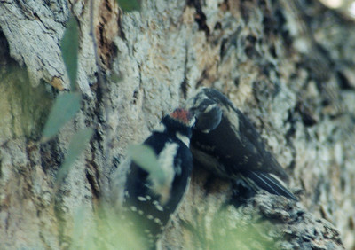 6/1/02 Downy Woodpecker (Picoides pubescens). Male feeding female. Los Angeles County Arboretum, Arcadia, CA