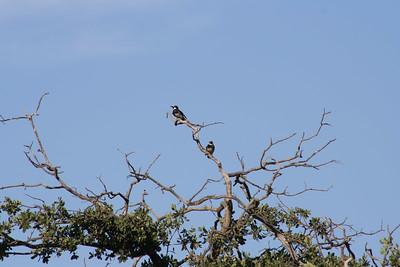 6/29/06 Acorn Woodpeckers (Melanerpes formicivorus). Kyle Court property, La Cresta, Murrieta, Riverside County, CA