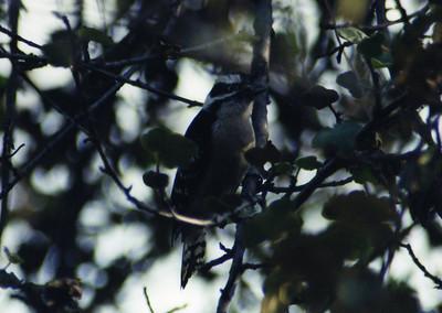 12/1/02 Downy (or Hairy?) Woodpecker (Picoides pubescens). Rancho Santa Ana Botanic Garden, Claremont, San Bernardino County, CA